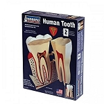 LIN71312  HUMAN TOOTH  -   Eight times life-size and hinged to show interior and detailing.